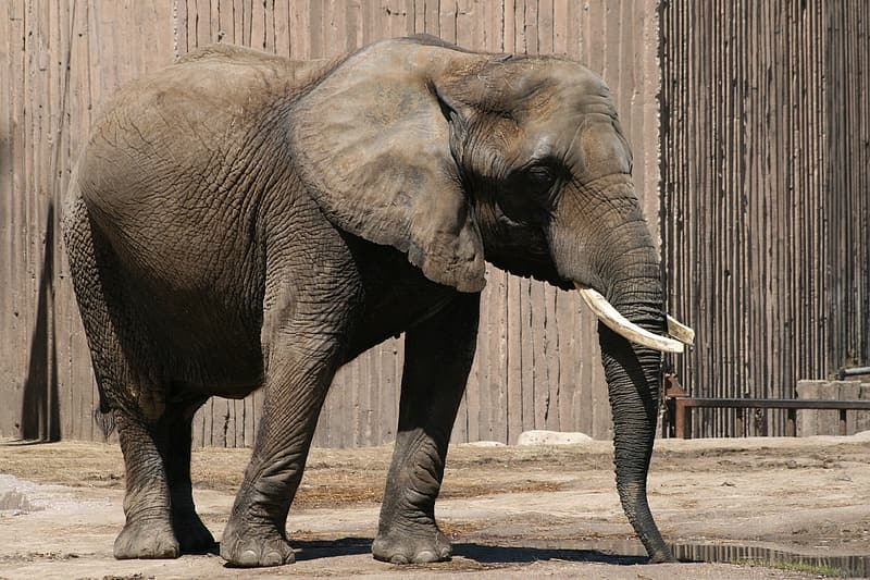 Gray elephant standing near brown painted wall