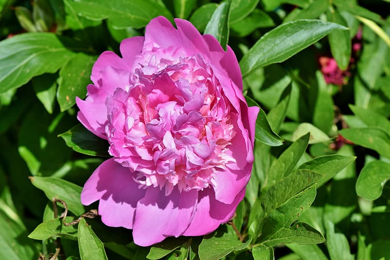 Pink peony flower in close-up photography