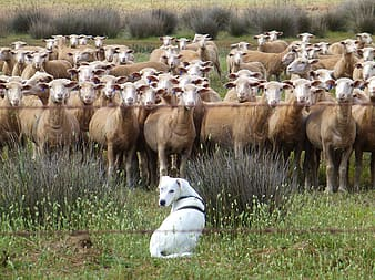 White dog sitting in front of herd of brown sheep during daytime