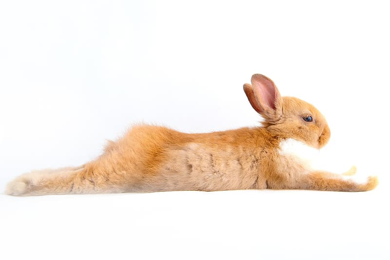 Brown and white rabbit lying on white surface