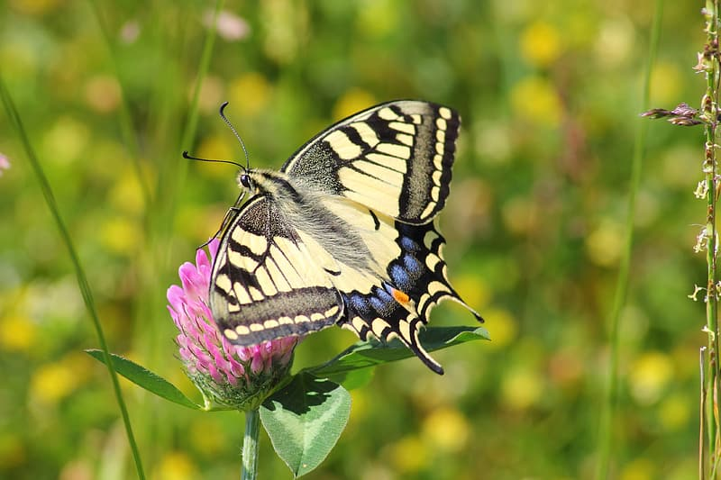 Closeup photography of tiger swallowtail butterfly