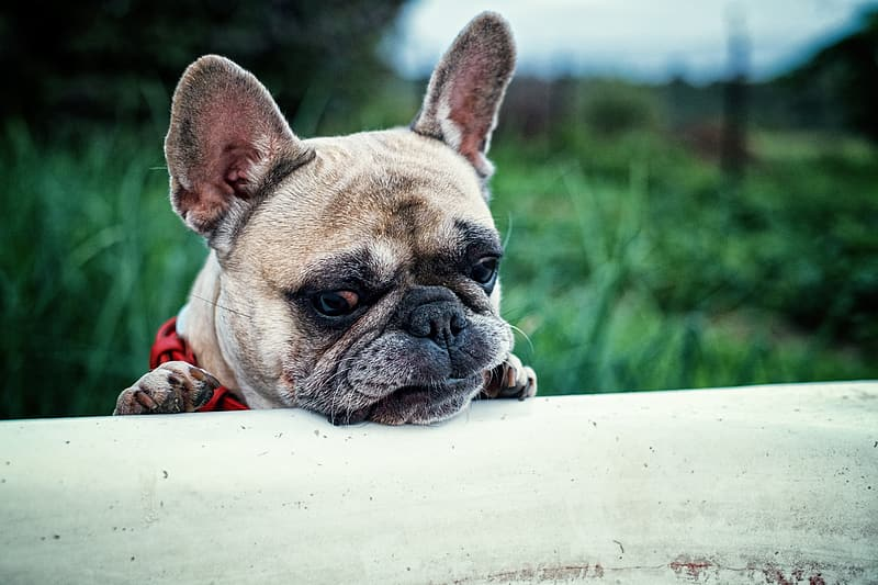Selective focus photography of adult fawn French bulldog