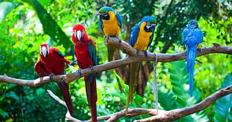 Selective focus photography of two scarlet and three blue-and-yellow macaws perching on branch