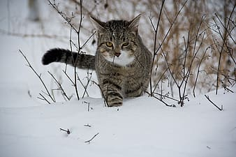 Brown and black tabby cat in snowfield
