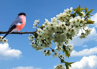Closeup photography of red and grey bird perched on white blossoms