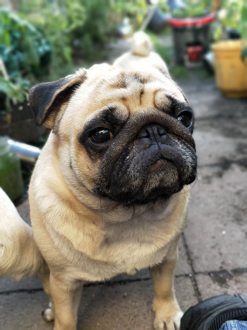 Selective focus photo of fawn pug during daytime