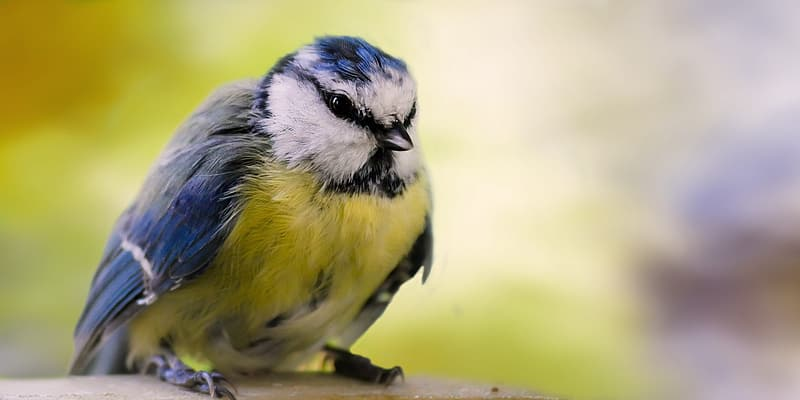 Yellow and blue bird on brown tree branch