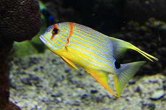 Photo of blue and yellow pet fish
