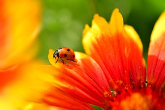 Red ladybug perched on yellow and red flower in close up photography during daytime