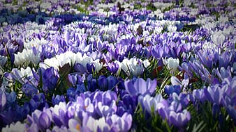 White and purple flower field