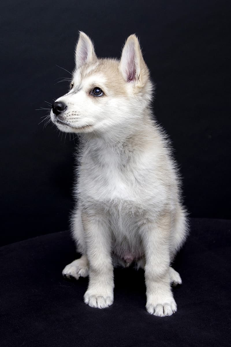 White and brown Siberian husky puppy