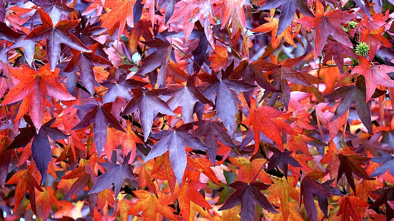 Dried maple leaves