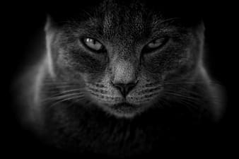 Grayscale photography of cat