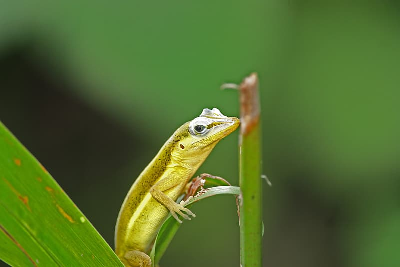 Green and brown lizard on green leaf