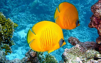 Two yellow discus fishes