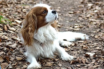 White and red Cavalier King Charles spaniel puppy laying down on surface surrounded by dried leaves