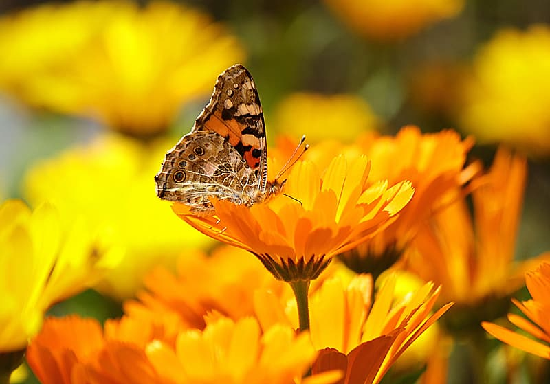 Brown and black Butterfly on flower