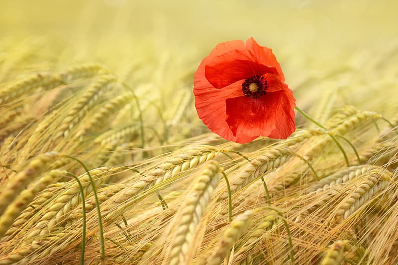 Red poppy flower on wheat field at daytime