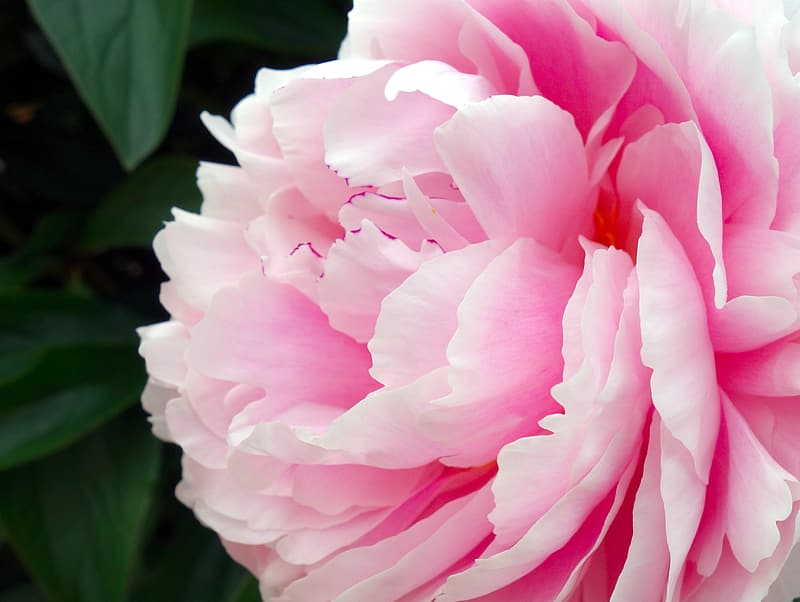 Closeup photo of pink peony flower