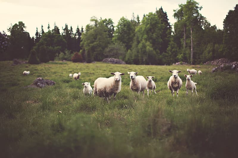 Herd of sheep on green grass during daytime