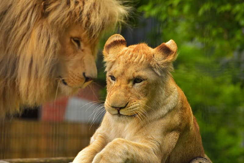 Brown lion with tiger on focus photo
