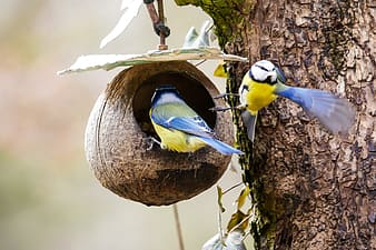 Two blue-and-yellow birds inside nest