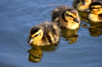 Yellow and black ducklings on body of water