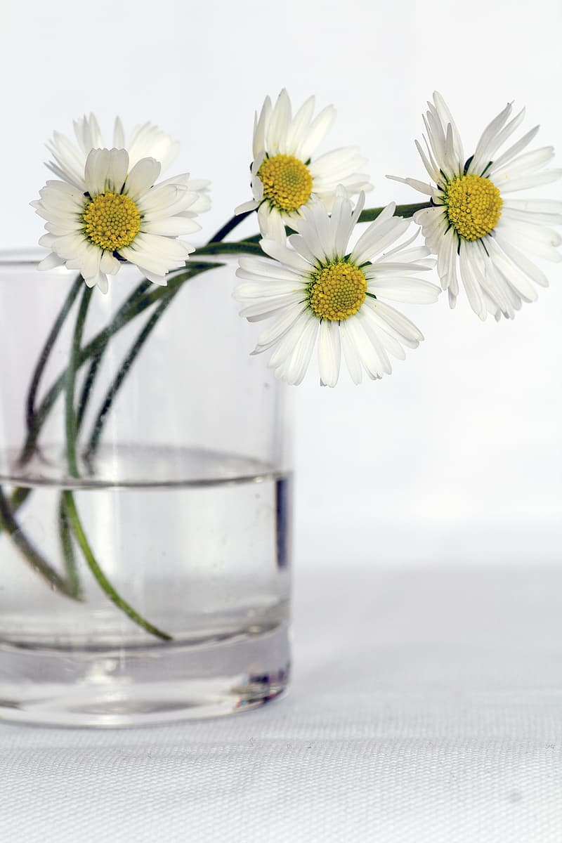 Daisy flower with glass vase