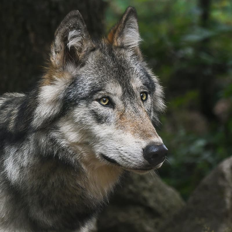 Focus photography of grey wolf