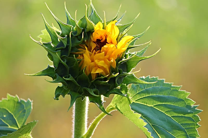 Selective focus photography of yellow sunflower bud