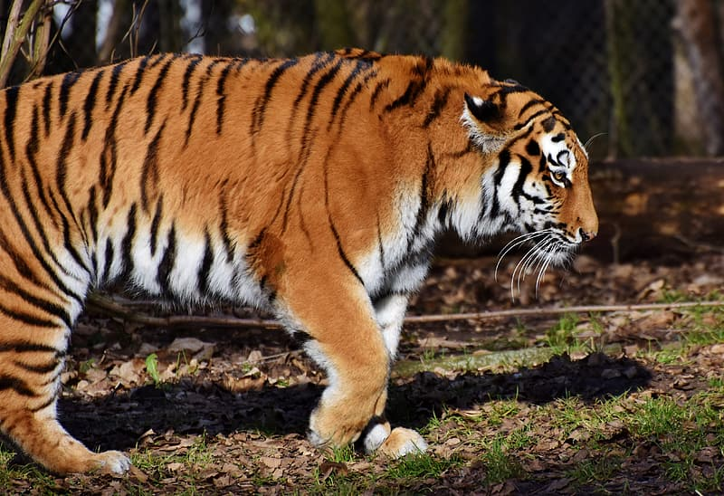 Focus photography of tiger