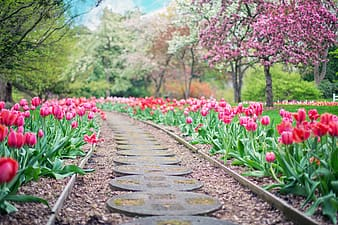 Desire road in between pink tulip flower field