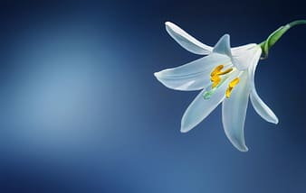 White lily closeup photo