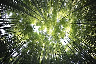 Worm's eye view of green bamboo trees