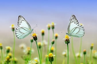 Macro photography of two white butterflies perched on yellow petaled flower