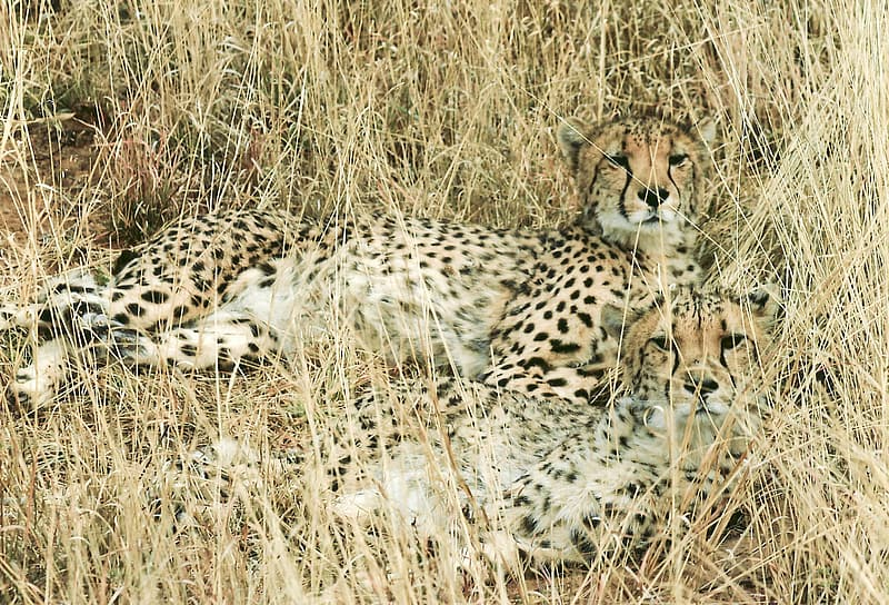 Two black and brown cheetahs on grass during daytime