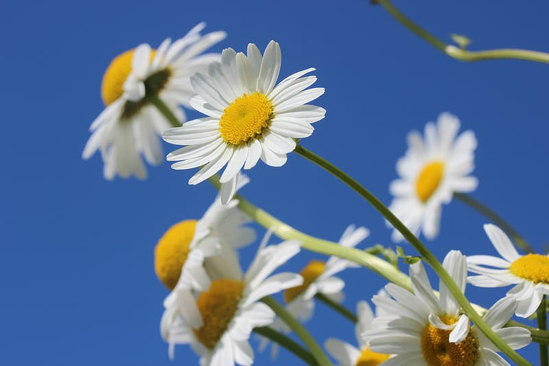 Shallow focus photography of white daisy flowers
