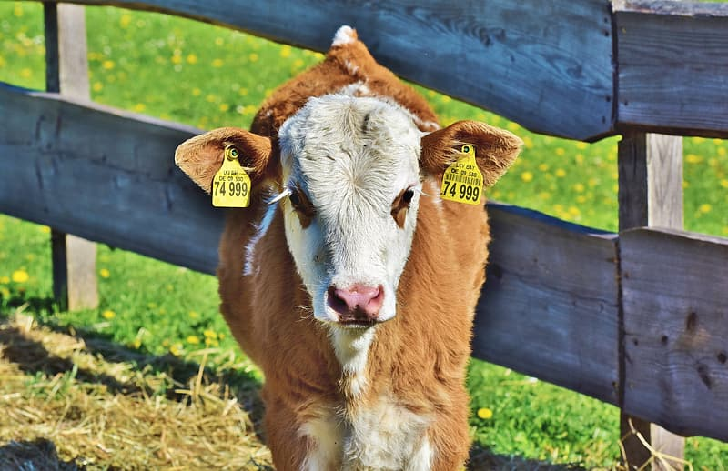 Brown and white cow on brown wooden fence during daytime