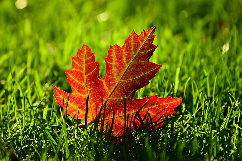 Red maple leaf on green grass during daytime