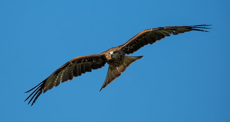 Hawk flying under blue sky during daytime