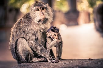 Family of two primate on flat surface