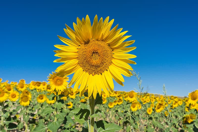 Sunflower field under clear blue sky at daytime
