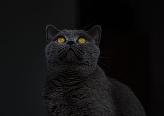 Black fur cat