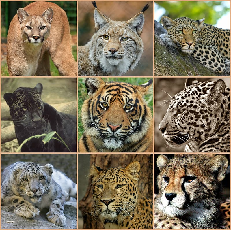 Photo of types of wild cats collage
