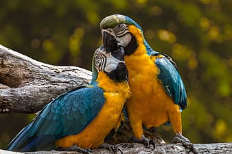 Two blue-and-yellow macaws perching on branch