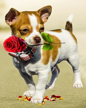 White and brown smooth Chihuahua puppy with red rose flower