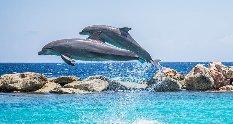 Two grey dolphins above water during daylight