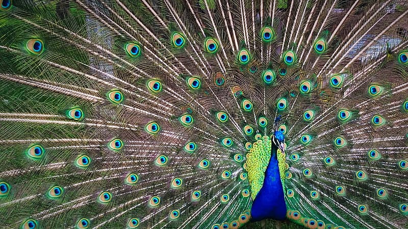 Shallow focus photography of green and blue peacock