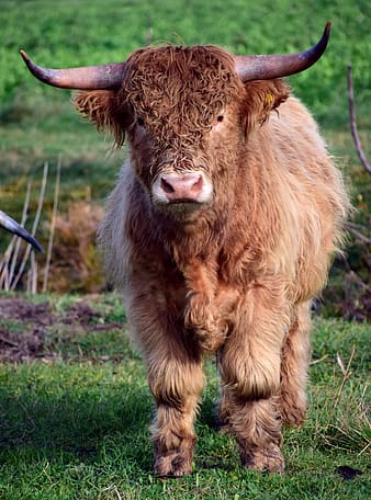 Shallow focus photography of brown highland cattle