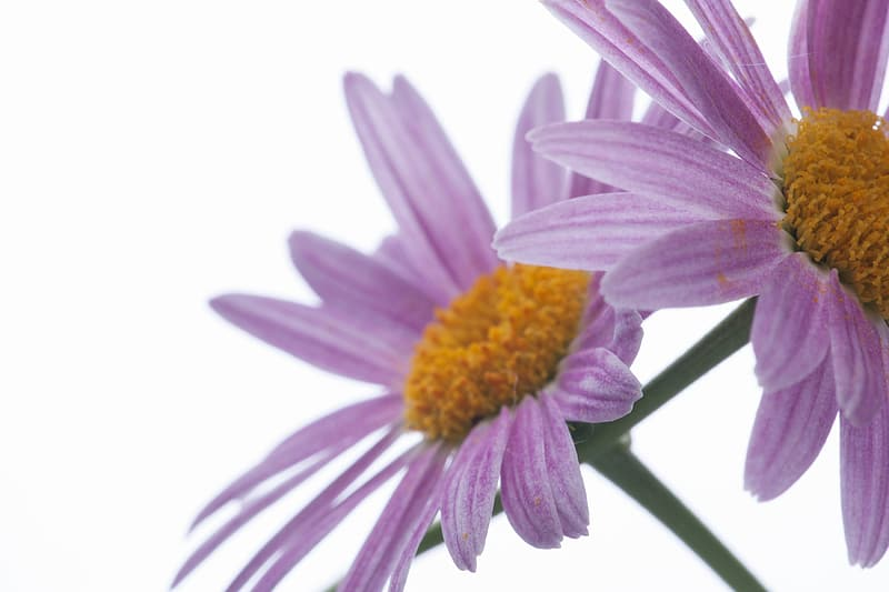 Purple and yellow flower with white background